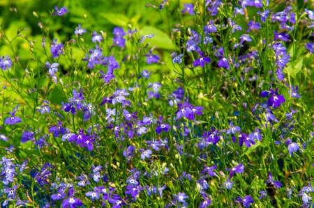 Lobelia - with a sub-cosmopolitan distribution mainly in tropical and warm temperate regions of the world, several species are distributed in cooler temperate regions. They are known as lobelia.