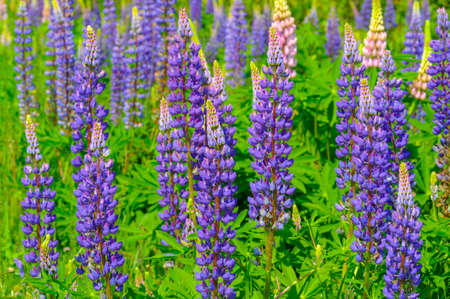 Lupinus, commonly known as lupine or lupine, is a genus of flowering plants in the legume family Fabaceae. with diversity centers in the Americas. They are widely cultivated as a food source.