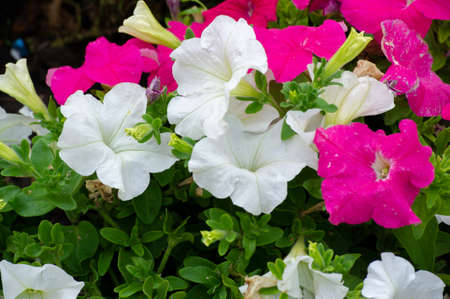 Petunia a plant of the nightshade family with brightly colored funnel-shaped flowers. Native to tropical America, it has been widely developed as an ornamental hybrid, with numerous varieties.