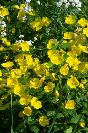 Oenothera glazioviana - known under the general name large-leaved primrose and red-skinned primrose. It may be a European hybrid of two North American species.