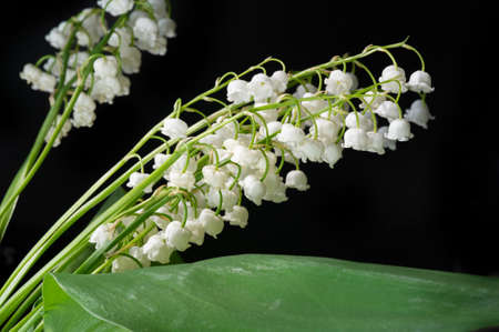 Convallaria majalis (lily of the valley), lily of the valley was used at weddings and can be very expensive. it has become a tradition in France to sell lily of the valley on International Labor Day