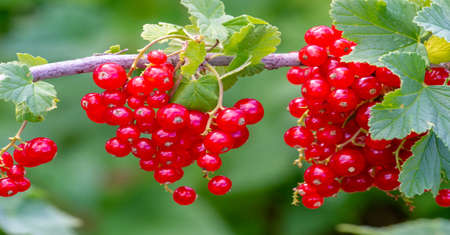 Food Berry. Redcurrant or redcurrant (Ribes rubrum) is a member of the genus Ribes in the gooseberry family. It is native throughout Europe The species is widely cultivated and escaped into the wild