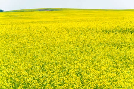 Yellow field. Rapeseed is the third largest source of vegetable oil and the second largest source of protein flour in the world. Stockfoto - 168145710