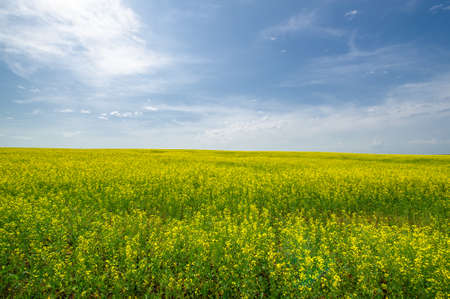 Yellow field. Rapeseed is the third largest source of vegetable oil and the second largest source of protein flour in the world.