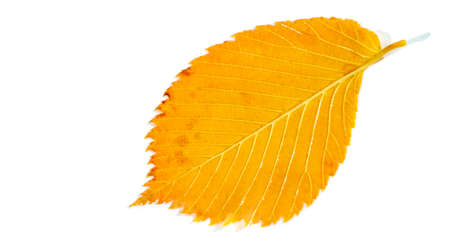 Blurred. Beautiful autumn leaves of an elm tree in the foreground, close-up, copy space, macro photography. texture
