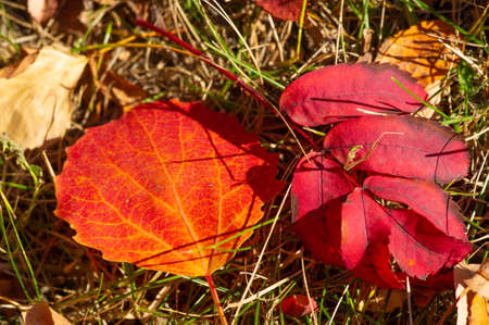 The autumn color of the leaves is a phenomenon due to which they acquire various shades of yellow, orange, red, purple and brown during the several weeks of the fall season.