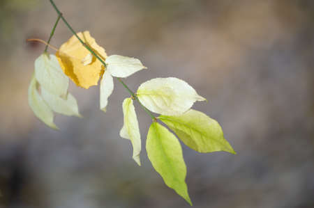 Shallow depth of field is blurred. The fall color of the leaves is the phenomenon whereby they take on various shades of yellow, orange, red purple and brown during several weeks of the fall season
