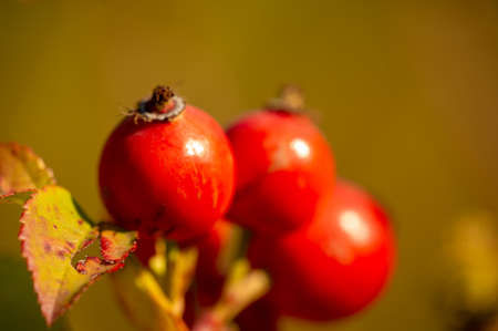 blurry photo, shallow depth of field. Rose hips contain a large amount of antioxidants, mainly polyphenols and ascorbic acid, as well as carotenoids and vitamins B and E. Stock Photo