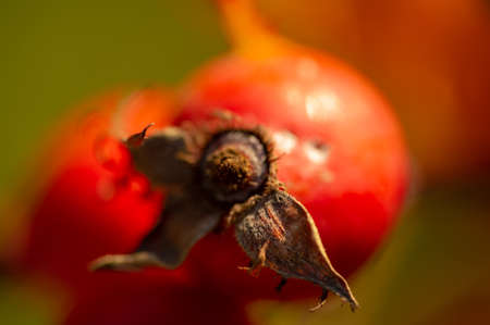 blurry photo, shallow depth of field. Rose hips contain a large amount of antioxidants, mainly polyphenols and ascorbic acid, as well as carotenoids and vitamins B and E.