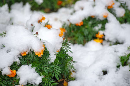 The first snow, snow-covered flowers, the end of warm autumn, frosts come