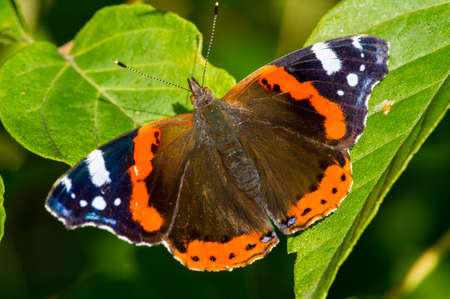 Vanessa Atalanta, red admiral or earlier, red, delightful, is a well-characterized medium-sized butterfly with black wings, orange stripes and white spots. It has a wing span of about 2 inches. Stock Photo