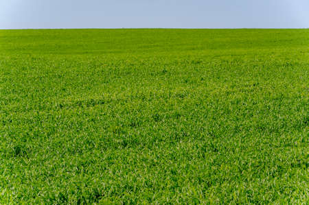 Spring photography, young shoots of cereals. Ripening wheat. Green shoots of photosynthesis under the bright sun. Phosphorus and nitrogen fertilizers introduced