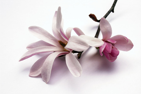 magnolia blossom and bud on branch