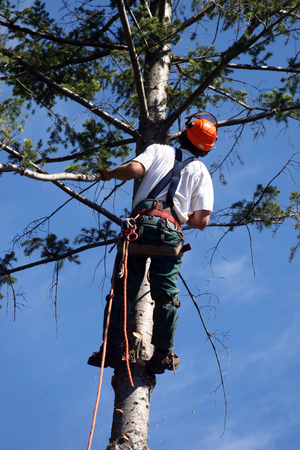 lumberjack climbing tree Stock Photo