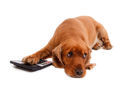 English cocker spaniel dog and calculator, isolated on white background.