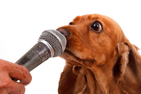 English cocker spaniel dog with microphone, isolated on white background. photo