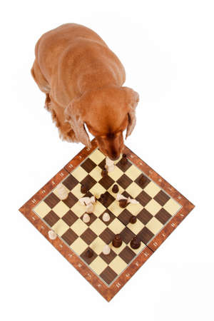 English cocker spaniel dog playing chess, isolated on white background. photo