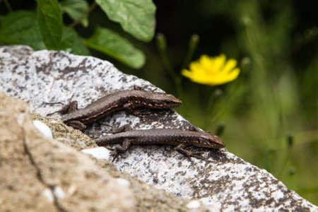 lizard in field: Lagarto en la roca, en el fondo verde suave. Foto de archivo