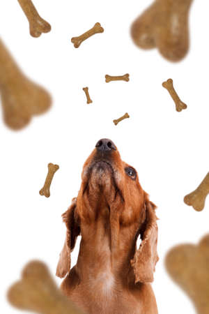 treats: Dog food treats falling, dropping down, cocker looking, isolated on white background.
