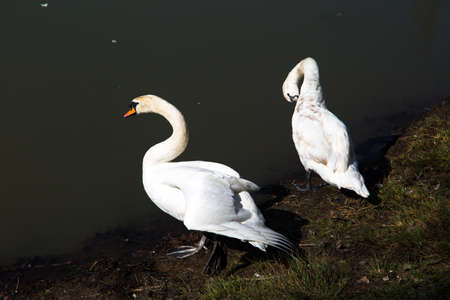 backview: White swans from side view along the lakeriver.