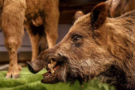 porker: Close up detailed porker animal view at National Museum of Prague.