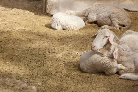 ovine: View of sheep living in a zoo, sitting in cage. Stock Photo