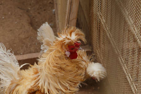chicken cage: Close up detailed view of rooster and chicken living in a cage. Stock Photo