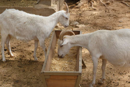 ovine: View of goats with white willow living in cage in natural park.