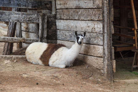 herbivore natural: View of a white lama sitting in a cage in a zoo. Stock Photo