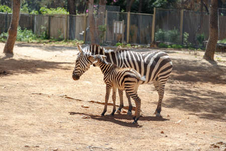 burchell: View of a stripped zebra living in cage in a natural park.