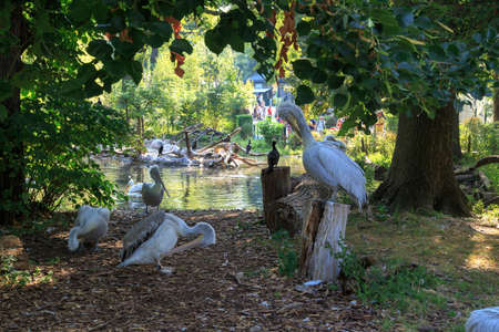 VIENNA, AUSTRIA - SEPTEMBER 11, 2016 : View of big white pelicans among trees with lake scene behind.