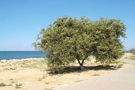 Olmo. Sulla riva del Mar Caspio. Archivio Fotografico