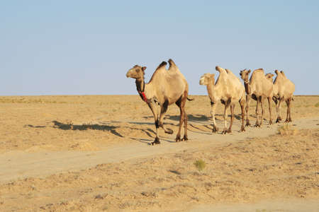 Camel caravan going through the steppe to grazing evening. photo