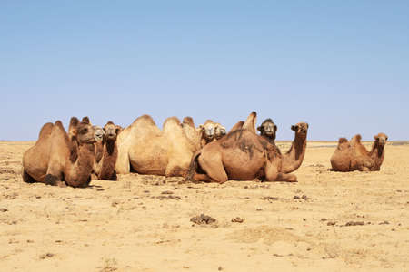 Camels lying on the ground in the steppes.