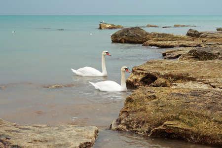 Two swans swimming near the shore. Caspian Sea. photo