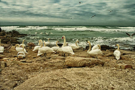 White Swans On Rocky Seashore photo