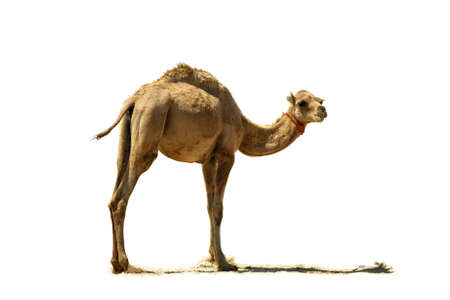 Small camel, close up, isolated on a white background  Stock Photo