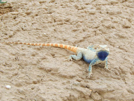 desert lizard: Lizard in the desert  Kazakhstan. Mangistau region. Stock Photo