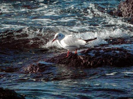 caspian: Seagull on rocky shore. Caspian Sea. Kazakhstan.
