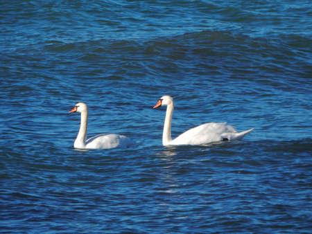 caspian: Pair of swans floating on the sea. Caspian Sea.