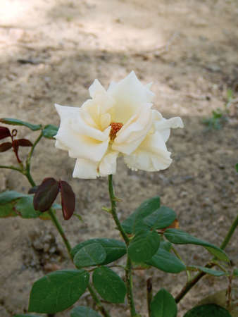 White rose growing in the flowerbed.