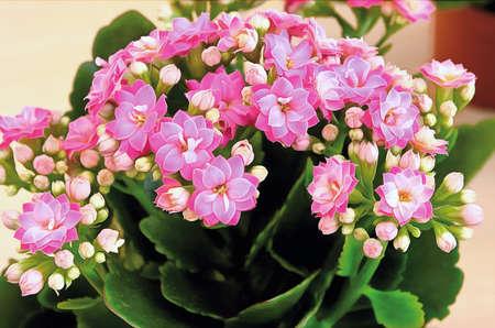 Pink petals Kalanchoe. Close-up. Houseplants. Stock Photo