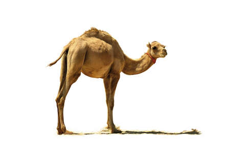 Small camel, close up, isolated on a white background.