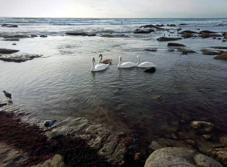 Swans on the stony shore of the Caspian Sea. 写真素材
