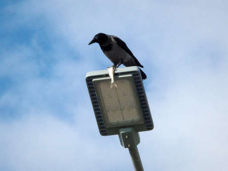 Crow sits on a street lamp and holds a fish. Stock Photo