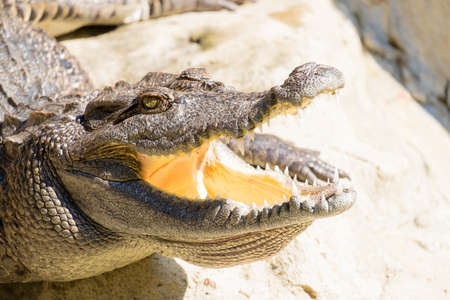 open mouth: Crocodile with open mouth