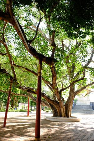 pipal: Old Bohhi Tree at Suphanburi  Thailand
