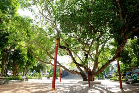 pipal: Old Bohhi Tree at Suphanburi - Thailand 1 Stock Photo