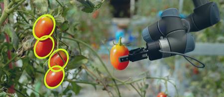 robótica inteligente en la agricultura concepto futurista, los agricultores de robots (automatización) deben estar programados para trabajar para recolectar verduras y frutas mediante el uso de tecnología de reconocimiento de objetos y aprendizaje profundo