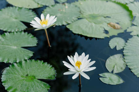 White Lotus in the lotus pond in a sunny day.